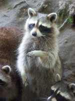 Raccoon_4_by_LidiaL.jpg